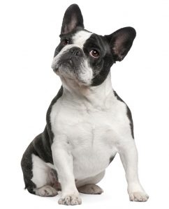 french-bulldog-scout